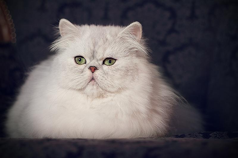 Le Interviste Di Leander Allevamento Felino Rosa Argentata Gatti